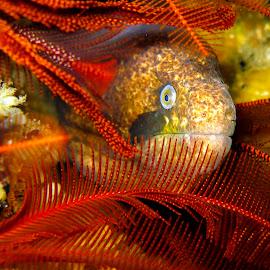 Keeping an eye........ by Stuart Skene - Animals Sea Creatures ( marine, macro, underwater, moray, scuba, dive )