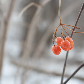 Food in the Wind by Max Kulik - Food & Drink Fruits & Vegetables ( wind, berry, winter, snow, sticks )