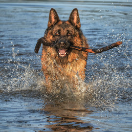 jambo by Boris Radevski - Animals - Dogs Playing ( water, dog, swimming )