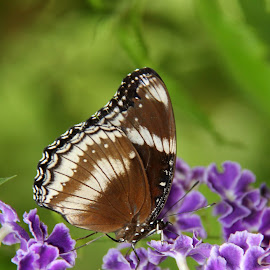 Lost in purple by Maresa Sinclair - Animals Insects & Spiders ( butterfly, black white purple flower )