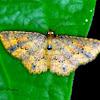 Geometridae moth.