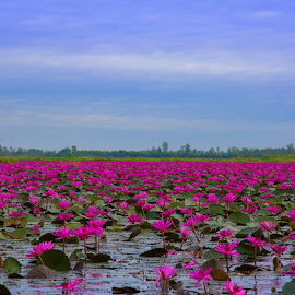 the lake of Red water lilies by Kitty Bern - Landscapes Prairies, Meadows & Fields ( water, lotus, thailand, lake, water lily )