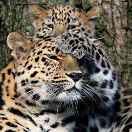 Amur Leopard & Cub by Ralph Harvey - Animals Lions, Tigers & Big Cats ( wildlife, ralph harvey, cub, leopard, marwell zoo, animal )