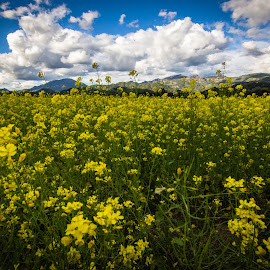 Napa Mustard by Mark Franks - Landscapes Prairies, Meadows & Fields ( napa valley )