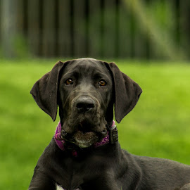 Great dane puppy 2 (edited) by Josh Clacher - Animals - Dogs Puppies ( alert dog, brown brown eyes, purple collar, black coat, cute ears, great dane, soft fur, green grass )