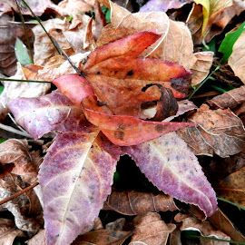 Fallen Leaves by Kathy Rose Willis - Nature Up Close Leaves & Grasses ( orange, autumn leaves, purple, autumn, nature up close, brown, leaves,  )