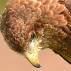 Harris Hawk by Darren Peckham - Novices Only Wildlife ( nature, hawks, wildlife, harris hawk, hawk,  )