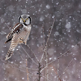 Northern Hawk Owl by Rachel Bilodeau - Animals Birds