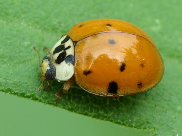 how to get rid of asian lady beetle
