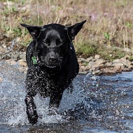 by Einar Sveinn Magnússon - Animals - Dogs Running
