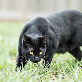 Stalking My Prey by Shawn Klawitter - Animals - Cats Playing ( animals, cat, nature, outdoors, stalking, black )