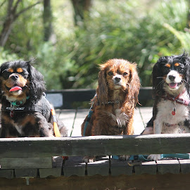 3 Amigos by Gabby Rundle-Thiele - Animals - Dogs Portraits ( dogs, cavaliers, spaniel, cavalier king charles spaniel, portraits, cute, cute dog,  )