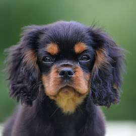 Cavalier by Marius Birkeland - Animals - Dogs Puppies ( dogs, puppy, cavalier king charles spaniel, dog, black and tan,  )
