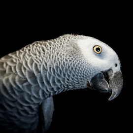 African Grey Parrot 3 by Bonnie Marquette - Animals Birds ( bird, nature, african, avian, parrot, grey, portrait, animal )