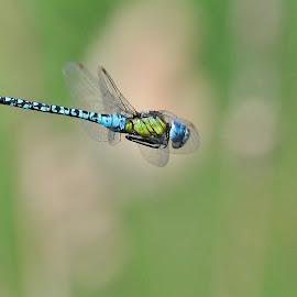 Blue-eyed Hawker  by Ricardo Costa - Animals Insects & Spiders ( ricardo costa, libelula, dragonfly, odonata, portugal, espinho, dragonflies,  )