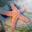 Pacific Sea Star
