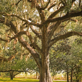 Louisiana Live Oak Tree by Ron Olivier - Nature Up Close Trees & Bushes ( louisiana live oak tree )