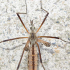 Crane Fly with undeveloped wings