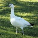 Ross's/Snow Goose Hybrid
