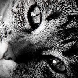 My Eyea by Shaun Norton - Animals - Cats Portraits ( kitten, cat, cat eyes, black and white, eyes )