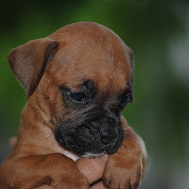 Boxer puppie by Sergio Yorick - Animals - Dogs Puppies