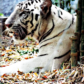majestic white tiger by Dhivya Dhandapani - Animals Lions, Tigers & Big Cats ( natural light, animals, white tiger, zoo, tiger,  )