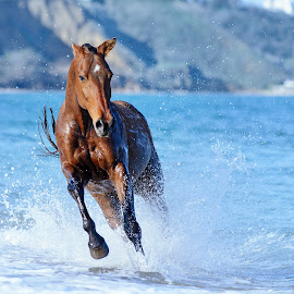 Horse in the sea by Tamara Didenko - Animals Horses ( mare, gallop, water, center, stallion, equine, horse, sea, running )