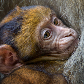 Snuggled by Michael Milfeit - Animals Other Mammals ( snuggled, macaca sylvanus, makake, jungtier, gekuschelt, pavianartige, baby, berberaffe, magot )