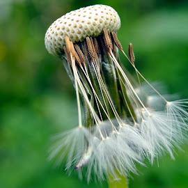 After the wind by Tina Stojanovski - Nature Up Close Other plants ( dandelion.green.nikon.macro.nature. )