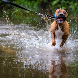 Water run by Eric Deschenes - Animals - Dogs Running ( water, lucky, pet, boxer, run, nikon, dog, boxador )