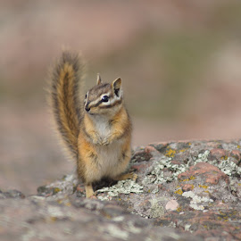 Chipmunk by Matt Larson - Animals Other Mammals