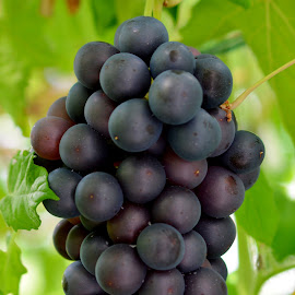 Frankenhaler Grapes by Fred Øie - Food & Drink Fruits & Vegetables ( nature, grapes, food, fruits )