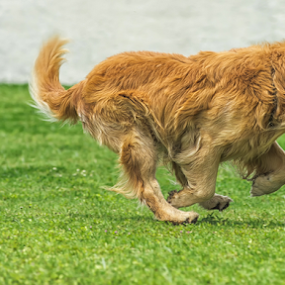 Golden Retriever Running by Cristobal Garciaferro Rubio - Animals - Dogs Running ( dog, running, golden, golden retriever )