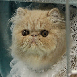 First show by Åse Langøen - Animals - Cats Kittens ( kitten, persian,  )