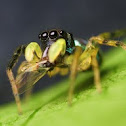 Banded Phintella jumping spider