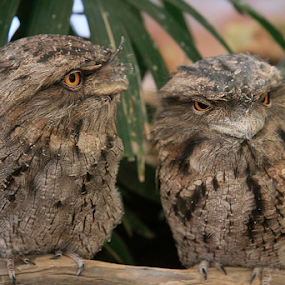Tawny Frog Mouth Owl by Bevlea Ross - Animals Birds (  )