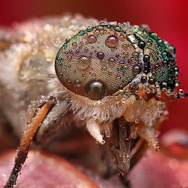 Raynbow by Ondrej Pakan - Animals Insects & Spiders ( horse fly, macro, dew cap, fly, dew, insect )