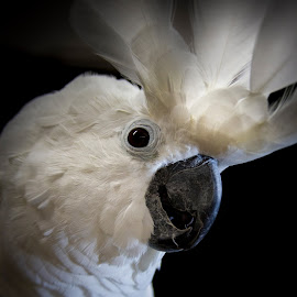 Umbrella Cockatoo 3 by Bonnie Marquette - Animals Birds ( bird, cockatoo, nature, avian, pet, umbrella, parrot, white, portrait, animal )