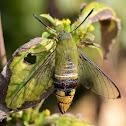 Pellucid BeeHawk Moth