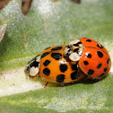 Multi-colored Asian lady beetles (mating)