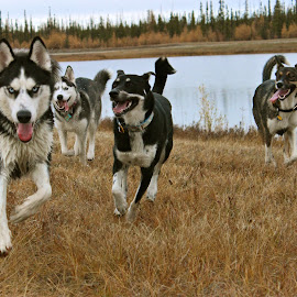 The Crew by Rachel Hester - Animals - Dogs Running (  )
