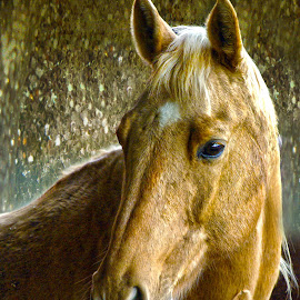 Gold II by Christiane Baur - Animals Horses ( mare, palomino, headshot, qutaerhorse, horse, gold, head, cute, portrait, golden,  )