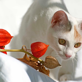white cat by Cristina Gusatu - Animals - Cats Portraits ( contest, red, white, pwc87 )