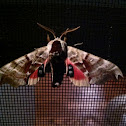 Twin-spotted Sphinx Moth