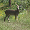 White tail deer (buck)