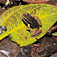 Amphibians of Para, Brazil