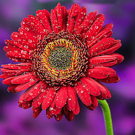 November Bloom #12 by Rakesh Syal - Flowers Single Flower