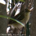 Wood Warbler; Mosquitero Silbador