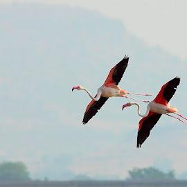 Flamigoes in Flight by Nikhil Jahagirdar - Animals Birds ( flight, neck, wings, beautiful, action, beak, legs, pink, long, in, birds, black, bird, fly )