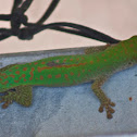 Green or Day gecko